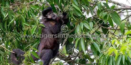 Capuchin Monkey (Cebus) eating fruit from the trees overlooking Iguassu Falls