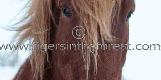 Hardy Icelandic pony