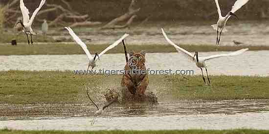 Young tiger charging through water