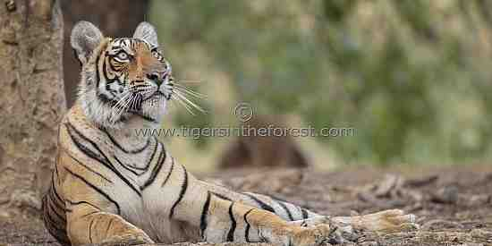 A curious young tigress (Panthera tigris tigris) fascinated by a monkey in a tree above her.