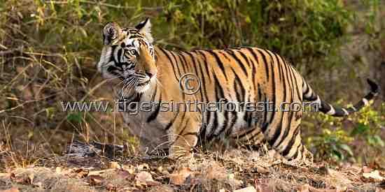 Young Bandhavgarh tigress about to disperse (Panthera tigris tigris)