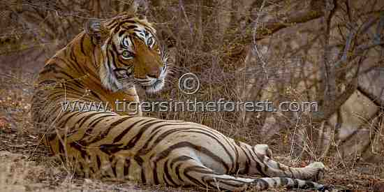 Tigress (Panthera tigris tigris)