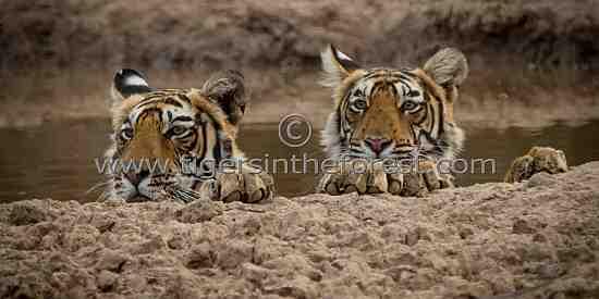 Two cheeky young cubs. (Panthera tigris tigris)