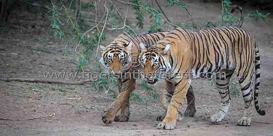 Ranthambhore tigress with sub-adult cub (Panthera tigris tigris)