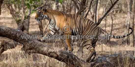 Tigress (Panthera Tigris Tigris)