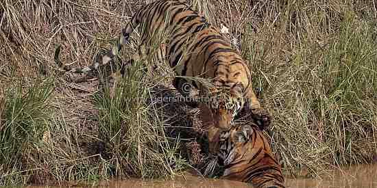Tiger cub (Panthera tigris tigris) greeting mother at water hole