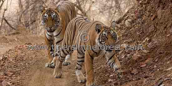 Tigress and sub adult male cub (Panthera tigris tigris)