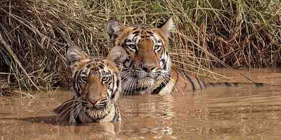 Tigress (Panthera tigris tigris) Soonam and cub together