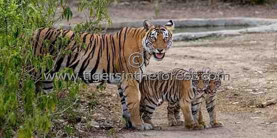 Tigress (Panthera tigris tigris) with cubs