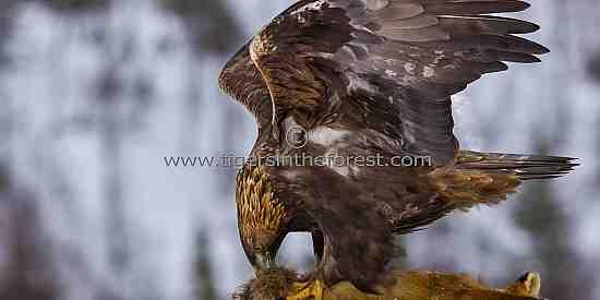 Golden Eagle on kill (Aquila chrysaetos)