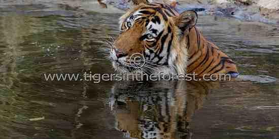 A cool reflection (Panthera tigris tigris)