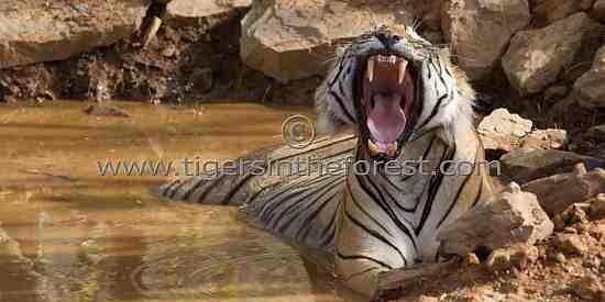 Display of power. (Panthera tigris tigris)