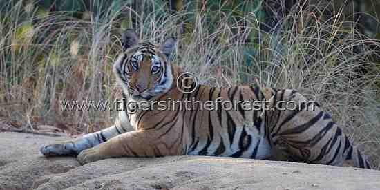 Young Vanvaye tigress (Panthera tigris tigris) at Bandhavgarh