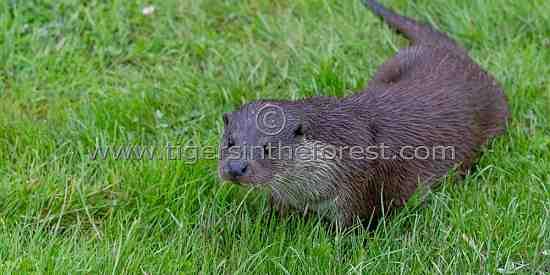 Otter (Mustelidae)