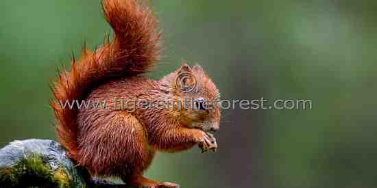 Red Squirrel ( Sciurus vulgaris)