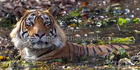 Large adult male tiger (Panthera tigris tigris)