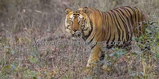 Bamera male tiger of Bandhavgarh