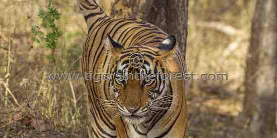 Tigress marking her home range.