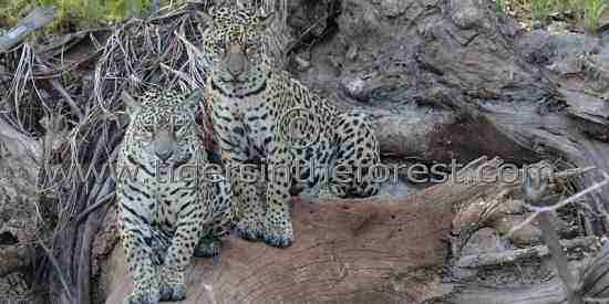 Jaguar siblings