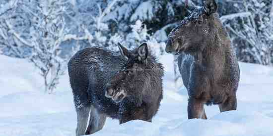 Norwegian Moose (Alces alces)
