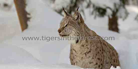 Eurasian Lynx (Felis lynx)