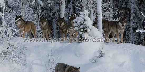 Eurasian wolves (Canis lupus lupus)