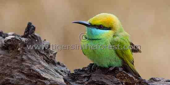 Small Green Bee-eater (Merops orientalis)