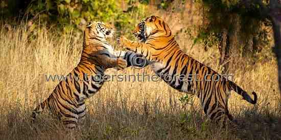 Siblings play fighting (Panthera tigris tigris)