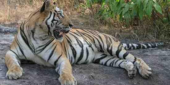 Bandhavgarh's iconic tiger (Panthera tigris tigris)