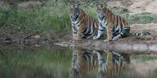 Two young tiger cubs seen at Bandhavgarh