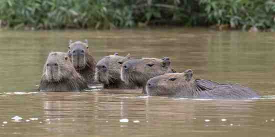 Capybara family (Hydrochaerus Hydrochaeris) swimming in line.