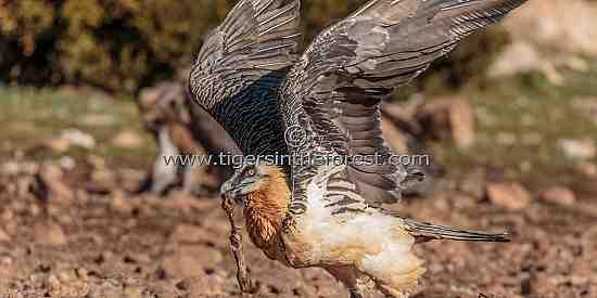 Lammergeier in flight