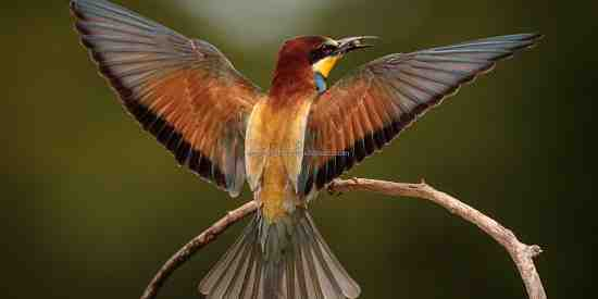 Bee-eater  (Merops apiaster) with its beautifully extended wings