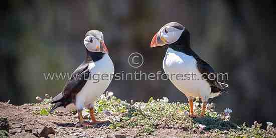 A pair of Puffins socialising