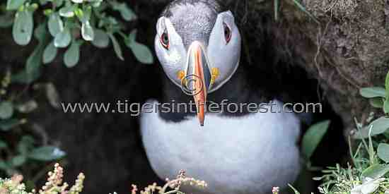 Puffin looking out from its burrow