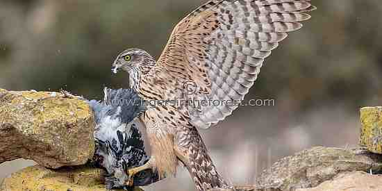 Goshawk on kill