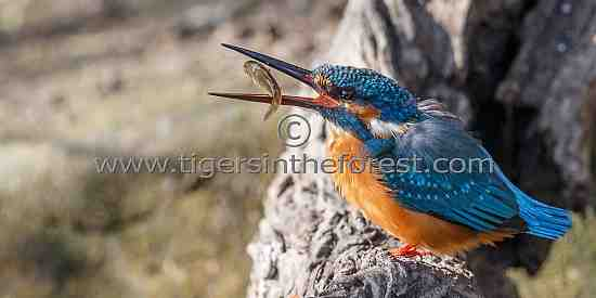 Eurasian or Common Kingfisher (Alcedo atthis) seen at Keoladeo National Park in India.