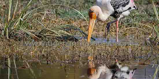 Painted Stork (Mycteria leucocephala) seen at Keoladeo National Park in India.