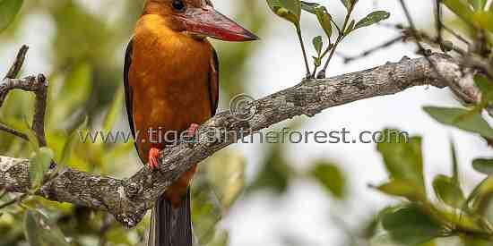 Ruddy Kingfisher (Halcyon coromanda) see at The Sunderbans