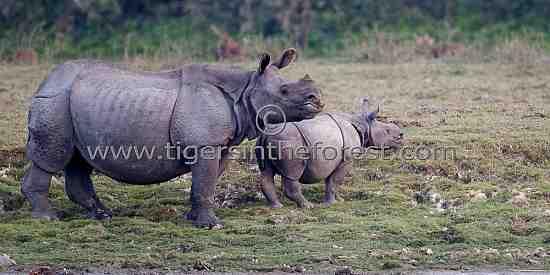 Indian one-horned rhinoceros ( Rhinoceros unicornis) seen at Kaziranga.