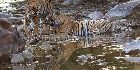 Siblings greeting each other. (Panthers tigris tigris)