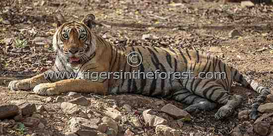Ranthambhore's famous tigress (Panthera tigris tigris) Machali