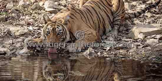 Ranthambhore's icon tigress Machali at a water hole (Panthera tigris tigris)
