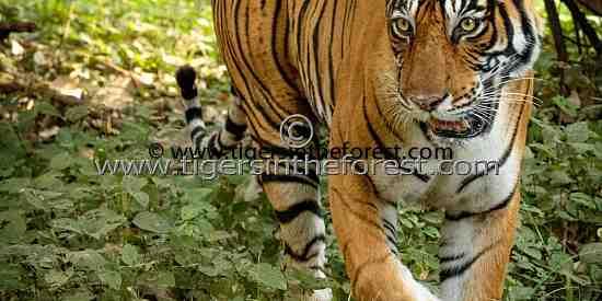 Tigress in the Forest (Panthera tigris tigris)