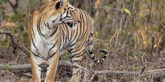 Bengal Tigress (Panthera tigris tigris)