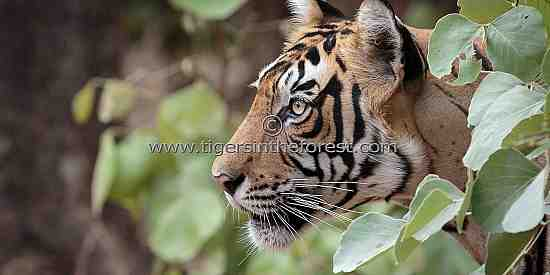 Young male tiger (Panthera tigris tigris) emerging from the forest.