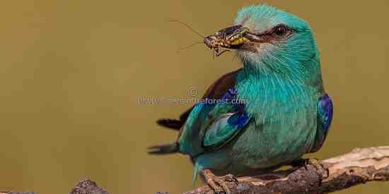 Eurasian Roller with grasshopper in beak.