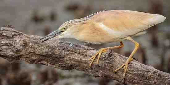 A Squacco Heron searching for food.