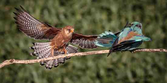 Red-footed Falcon dive bombing a Eurasian Roller