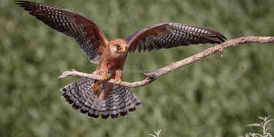 Red-footed Falcon landing on a branch.